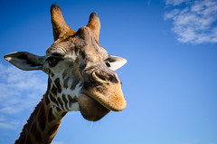 Giraffe (emmoff) Tags: giraffe mogozoo mogozoom