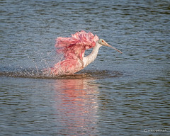 Splish-Splash! (craig goettsch) Tags: pink bird nature nikon florida wildlife ngc sanibelisland avian roseatespoonbill d610 dingdarlingnwr usnwr