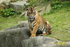 Sumatra Tiger (Geralds-Raubtiere) Tags: sumatratiger burgerszooarnhem flickrbigcats