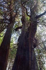canada tree tofino 2014 cedartree 18105mm3556 britscolumbia canada2014 lbl630