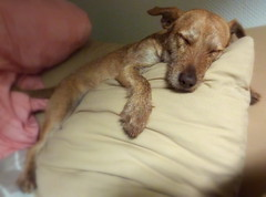 Pillow hugging (Zandgaby) Tags: sleeping dog pet cute puppy mix hugging funny sweet canine pillow terrier sleepy tired cuddling