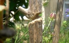 Xylocopa iris f - 10 VI 2014 (el.gritche) Tags: hymenoptera france 40 garden xylocopinae xylocopairis xylocopa nest cirsium apidae behavior bee abeille