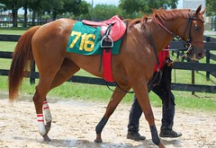 OBS June Undertack '14 (Shazstock) Tags: horse black race dark grey bay mare florida sale gray racing chestnut workout sales colt stallion thoroughbred equine tack ocala filly gelding