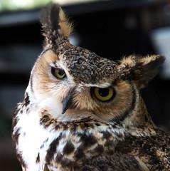 Great Horned Owl (ksblack99) Tags: phoenixzoo phoenix arizona owl bubovirginianus greathornedowl