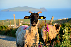 Sleeping Giant in the back (Barbara Walsh Photography) Tags: morning flowers ireland sheep kerry dunquin blasketislands