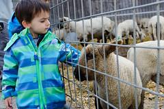 IN THE FARM (skech82) Tags: animal 35mm switzerland nikon child farm swiss lamb svizzera animale agnello bambino fattoria d7000 skech82 skechphoto