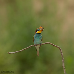 European Bee-eater (Merops apiaster) (_alcedo_) Tags: blue summer food color colour tree green bird nature birds june yellow insect one colorful europe european alone branch adult feeding eating background wildlife country hunting beak insects bee exotic bulgaria single lane catching perch fields lone perched prey colourful behavior avian individual eater beeeater migrant behaviour merops apiaster beeeaters