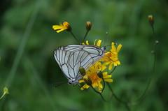 Baumweißling (Aah-Yeah) Tags: white black butterfly bayern schmetterling achental veined chiemgau aporia crataegi tagfalter piesenhausen baumweisling