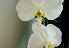 Orchid2 (aistora) Tags: white plant orchid flower nature beautiful beauty yellow closeup dof symbol bokeh decorative sony fine clarity pale leopard spotted exquisite delicate pse topaz lightroom nex sybolic denoise 5r 1650mm emount nex5r sel1650pz epz1650oss