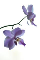 (anna.olovson) Tags: flowers orchid flower nikon purple orchids sweden lila blomma vstmanland orkidee kolbck