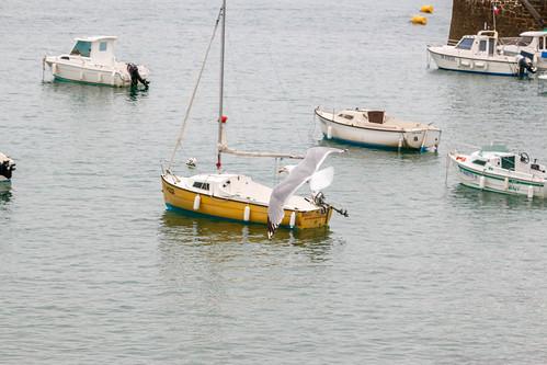 Goéland marin dans le port de Piégu