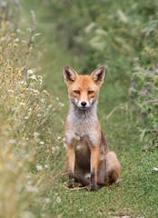 Red Fox (Vulpes vulpes), by Peter Alfrey