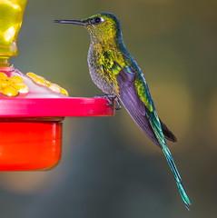 Colibr 1 (Jos M. Arboleda) Tags: bird canon eos colombia hummingbird jose ave 5d colibr arboleda markiii trochilidae ef70200mmf4lisusm apodiforme josmarboledac troquilinos naturesplus
