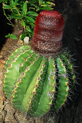 #184 Turk's Cap Cactus (bsmity13) Tags: trip wild cactus plant rock flickr natural native places flowering stcroix caribbean 365 habitat share usvirginislands usvi melocactusintortus tobeposted buckislandreefnationalmonument turkscapcactus