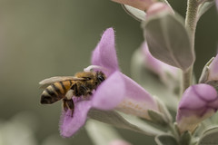 Purple Sage (lkbuchanan) Tags: macro bee purplesage beemacro beecollectingpollen texaspurplesage lkbuchanan