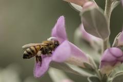 Purple Sage (lkbuchanan) Tags: macro bee purplesage beemacro beecollectingpollen texaspurplesage lkbuchanan
