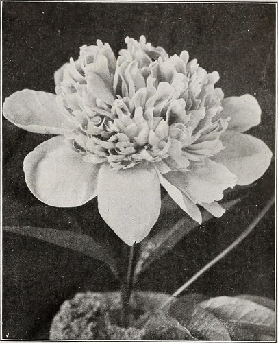 "Image from page 44 of ""Dingee guide to rose culture"" (1920)"
