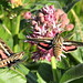 Hummingbird moth (Hyles lineata) white lined sphinx moth on showy milkweed