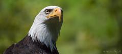 Regard perant - Aigle Pygargue (sebastienpeguillou) Tags: bird animal animals nikon eagle prey nikkor animaux aigle rapace d3200 pygargue