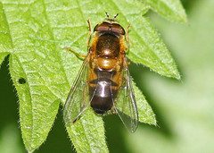 Hoverfly sp., by Peter Alfrey