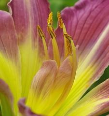 Lys acidulé (mamietherese1) Tags: fantasticflower 3000v120f overtheexcellence floralessence macroflowerlovers saariysqualitypictures sublimeflowershot cedruseternum
