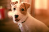 """Do You Call My Name? (moaan) Tags: dog smile smiling russell dof bokeh utata jackrussellterrier 2014 kinoko dogportrait ef50mmf14usm terrier"""" """"jack thelittledoglaughed canoneos70d thelittledoglaughedportraits"""