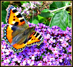 Small Tortoiseshell Butterfly on the Buddleia (1) (ronramstew) Tags: flowers wild plant butterfly garden scotland buddleia angus tortoiseshell forfar