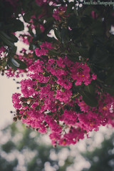 (novavistaphotography) Tags: pink flowers plant tree green nature june 50mm flora blossom blossoms naturallight crepemyrtle naturephotography nikond3200 crapemyrtle lagerstroemia flowerphotography
