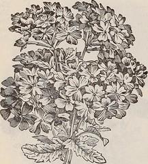 Anglų lietuvių žodynas. Žodis cape periwinkle reiškia žaliojo periwinkle lietuviškai.