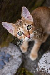 A kitten (lvaivl) Tags: light red cats pets nature look animals daylight eyes kitten alone natural little catmoments snapwire