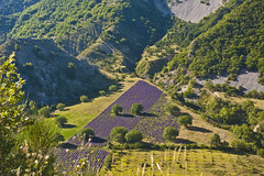 Lavender fields (maki) Tags: summer france lavender provence drome baronnies lavandre