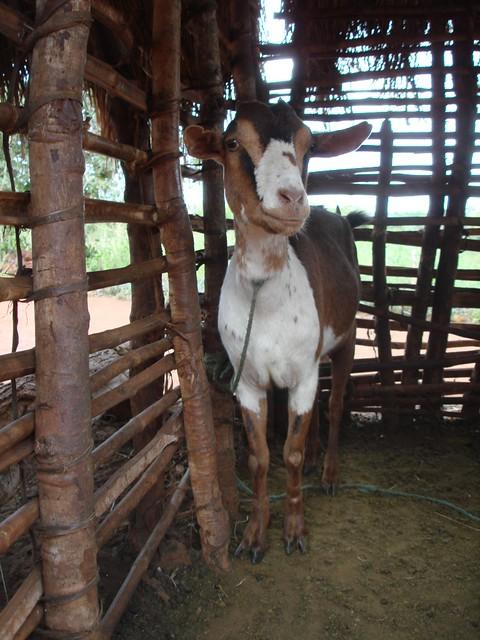goat pen (768x1024)