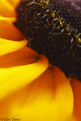 'Gold Rush' Black-eyed Susan (Kim Toews Photography) Tags: summer orange ontario flower macro texture lines yellow gardens canon gold flora gardening patterns shapes july august rudbeckia asteraceae blackeyedsusan gardenflowers daisylikeflowers canont3i canonrebelt3i sigma150mmf28osmacro conicalcenter darkcenterseedhead