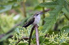 lady hummer (jphillipobrien2006) Tags: newjersey jackson americangoldfinch turkeyvulture rubythroatedhummingbird blackswallowtail pinepark wildnewjersey