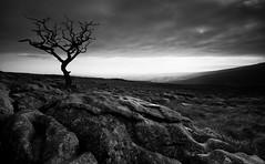 Hardy (-- Q --) Tags: wonky tree twistedtree yorkshiredalesnationalpark northyorkshire malhamcove malhamtarn atmosphere limestonepavement blackwhitephotos serene landscape qthompson marumidhgcpl lee09softgrad lee06softgrad lee09hardgrad