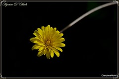 Un fiorellino solitario - Marzo-2017 (agostinodascoli) Tags: nikon nikkor nature cianciana sicilia macro fiori giallo piante agostinodascoli marzo margherita