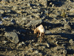 Bull Elk (Ramona H) Tags: elk bull bullelk gardiner gardinermt yellowstone yellowstoneriver winter snow telephoto