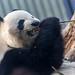 Panda Bear Riri eating bambus stick