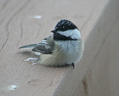 #73 GGO Chase Part 2 Black-capped Chickadee, Poecile atricapilla, 40 degrees below zero, 1/20/2011, Aitkin Minnesota, Photo by Wes (wesbird72) Tags: minnesota aitkin aitkinminnesota bird birds birder birding birdsofminnesota birdingminnesota chickadee cap capped black blackcappedchickadee thrush varied variedthrush cold colder coldest zero below belowzero sow ice frost frosty frostcovered