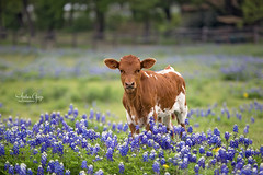 Longhorn calf in the Bluebonnets ** {Explore - first page ♥ thanks} (Andrea Garza ~) Tags: texashillcountry texas longhorn tx marblefallstexas wildflower wildflowers bluebonnets bluebonnet western ranch ranching hillcountry