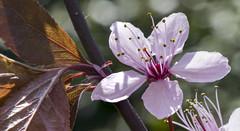9240328 (TAHARFR) Tags: 105mm nikon zen naturallighting bokeh bokelicious dreamy soft nature stacking flower spring