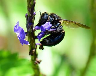 Carpenter Bee enjoying Porterweed