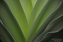 Palmenblätter (Frank Guschmann) Tags: botanischergarten botanischergartenberlin palme palmblätter frankguschmann nikond7100 d7100 nikon