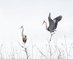 Great Blue Heron Pair (dcstep) Tags: gbh greatblueheron heron bird wings pair aurora colorado unitedstates us n7a5501dxo cherrycreekstatepark canon5dmkiv ef500mmf4lisii ef14xtciii allrightsreserved copyright2017davidcstephens dxoopticspro1131 nature urban urbannature sanctuary urbansanctuary copyrightregistered04222017 ecocase14949772801