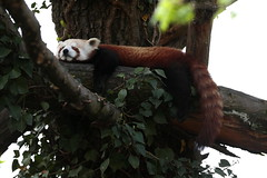 Aprile...dolce dormire !    :)) (carlo612001) Tags: panda redpanda minore pandaminore albero foglie animale animali animal animals tree trees dormire sleep sleeping dream sogno upstairs wildlife