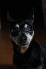 My little dog Sissi (Eduuc) Tags: doggie dog dobermanpinscher littledog caracas venezuela love