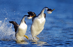 Walking on water (Thy Photography) Tags: clarksgrebe grebes fullframe california animal bird nature photography outdoor wildlife western grebe courtship westerngrebecourtship westerngrebe