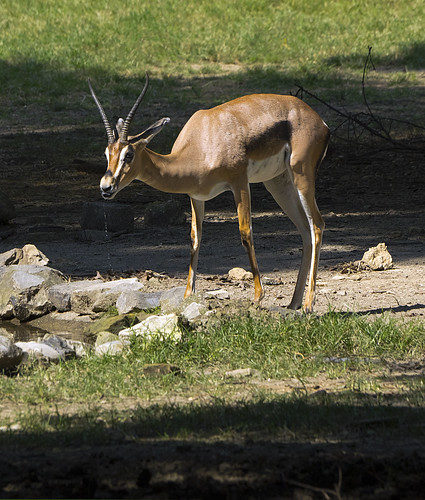 Memphis Zoo 08-31-2016 - Grants Gazelle 20