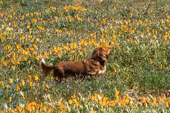 Poppies (10) (Feddal Nora) Tags: poppyreserve poppyreservenorafeddalcalifornia flower dog witch sorciere chien poppies coquelicot purple orange poppy antelope valley california reserve antelopevalleycaliforniapoppyreserve purplelacyphacelia canon