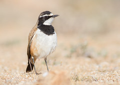 Capped Wheatear (Oenanthe pileata) (George Wilkinson) Tags: oenanthepileata capped wheatear goegap nature reserve northern cape south africa karoo desert wildlife canon 7d 400mm bird